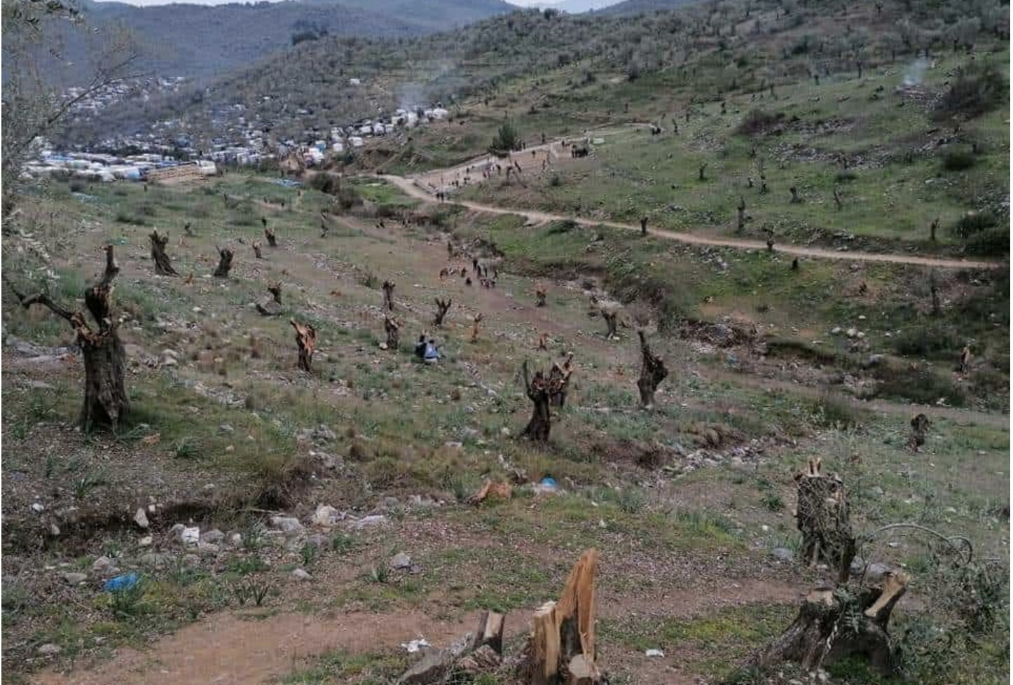 An attack on Greek heritage, migrants chop thousands of olive trees on Lesvos